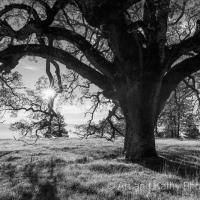Henry Coe Oak