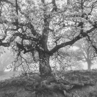 Oak Tree in Fog