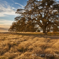 Blue Oak and Grass