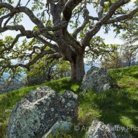 Mt Diablo Oak