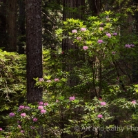 Rhododendrons Among the Redwoods
