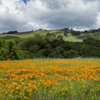 Poppy Field, Mt Diablo