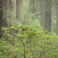 Rhodedendrons and Redwoods in the Fog