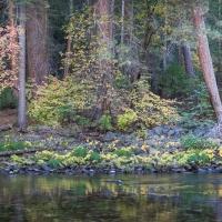 Dogwood in Fall, Yosemite