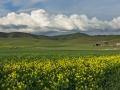 Mustard Plants & Barn