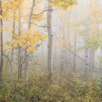 Aspens In Fog II