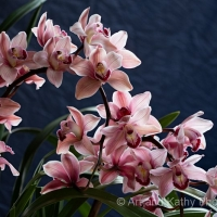 Orchid  8