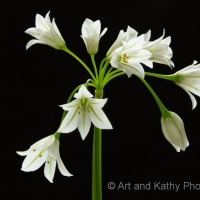 Three-cornered Garlic 2