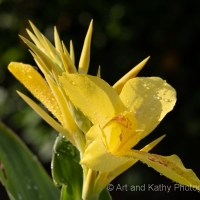 Canna Lily 1