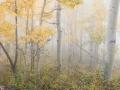 Aspens In Fog 2