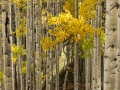 Aspens, Ohio Pass Road 2