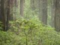 Rhodies & Redwood In Fog